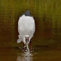 水を飲む:コウノトリJ0067の観察と滞在記録更新