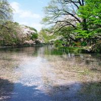井の頭公園・桜の咲く風景