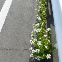 ハマナデシコ白花