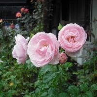 可愛い花です バラの「ハンスゲーネバイン」