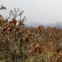 冬芽の観察83カシワ2