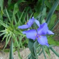 花の命は短くて・・ 午後にはしおれます・・