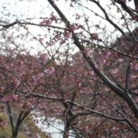 そろそろ釣りシーズン浜名湖船掃除  途中の浜松東大山河津桜も