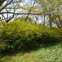 春が真っ只中の「ヤマブキ」