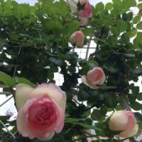 バラの季節(よしだ麺)
