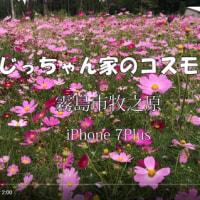 じっちゃん家のコスモス畑が満開になってた。 霧島市牧之原 iPhone 7Plus