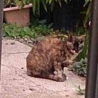 近所のサビ猫です。