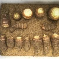 里芋の種芋保存