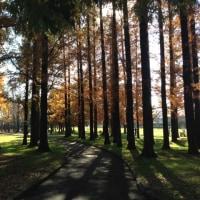 寅さんが遊んだ水元公園 メタセコイアヤの森