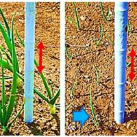 通常型 玉葱 苗 への 追肥 ( 一部 肥料止め )