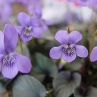 花の詩「すみれ」