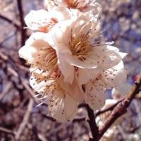思わぬ所に梅の花♪