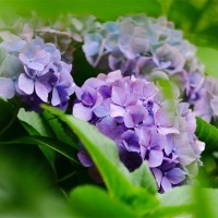 No.3921 紫陽花