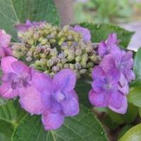 梅雨空が似合う紫陽花・夏椿