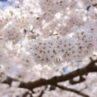 十和田市 官庁街通りの桜☆
