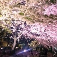 世界初?! 桜を鮮やかに照明するLED!