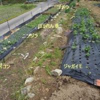 春野菜が順調に生育している
