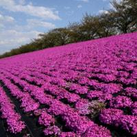 新荒川大橋の芝桜・・1