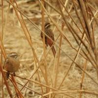 大堀川周辺の野鳥_ホオジロ(頬白)