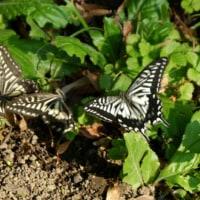 今週の一枚は揚羽蝶