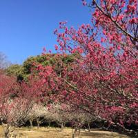 豊田・平芝公園の梅林