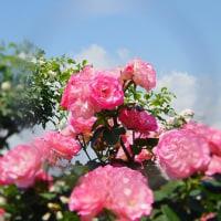 名残りの惜しい薔薇と花菖蒲