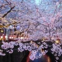 夜桜~これが疲れた体を癒す魔法!~