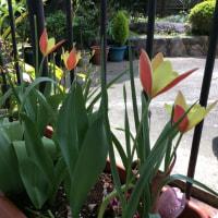 かわいいチューリップが咲いたよ