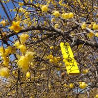 群馬県安中市「ろうばいの郷」、ろうばいの花と愛ちゃんが早春の香りを届けるよ(その2)♪