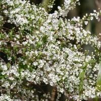 草木の芽吹き、開花が加速
