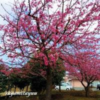 「れんげの里あらいそ」の河津桜が満開となった!!