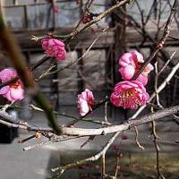 紅梅(こうばい)という花
