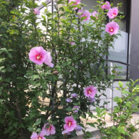 韓国の国花のムクゲが咲いていました。