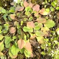 ジシバリの葉がこんもりと