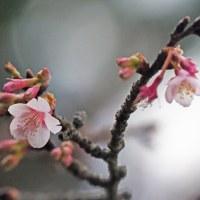 カンザクラ(寒桜)