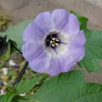 <道に咲く 紫の花。>