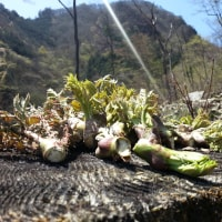 たらの芽収穫祭2016 500m~600m編