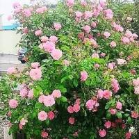 バラが咲いたバラが咲いた