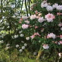笠間市鳳台院の石楠花