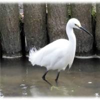 雨水も過ぎ水温むころ(^^♪西河原公園で温くなった水に浸かって楽しそうに遊ぶ 「白鷺(コサギ)」
