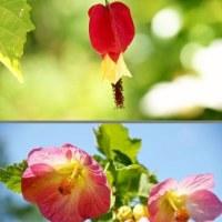 庭の花 アブチロン (伊勢志摩)