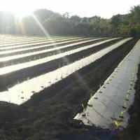 トウモロコシ定植2017(14回目)