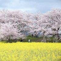 奈良 藤原宮跡の桜