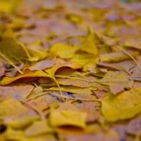 皇居 黄葉の風景