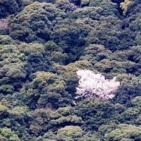 原生林に桜1本