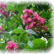 なんじゃもんじゃ・ユリの木・センダン・の花がさいていました。