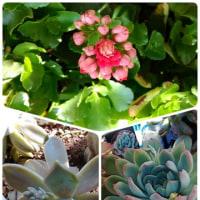 カランコエの八重の花が咲き出しています~♪