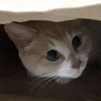 ♂猫だいずがトイレ外でウ◯チ粗相しちゃいました【猫日記こむぎ&だいず】2017.05.13