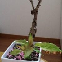 桜盆栽 挿し木苗に新芽が出ました\(^▽^)/