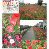 花巡り ポピー 1  コスモスロード
